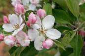 apple-blossom4
