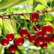 cherries350x350