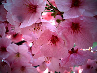 cherryblossoms-2