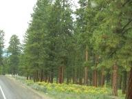 pine-trees1
