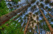 pine-trees2