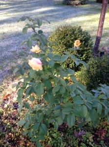 My Mother's Yellow Roses Growing Amongst The Frost Surrounding Them