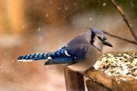 201302-bird-feeder-birds-blue-jay