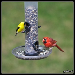 bird_feeder_cardinal_goldfinch