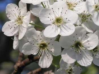 Bradford_Pear_Callery_Pear1 wcc Oldpointe