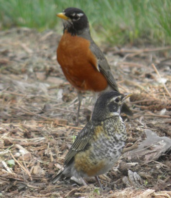 robin american male daddy and baby Wild Birds Unlimited East Lansing Michigan sarahzarka