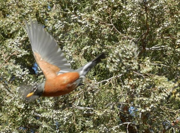 robin-american-turdus-migratorius-laramie-wy-flying
