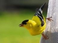 yellow-finch-643x482