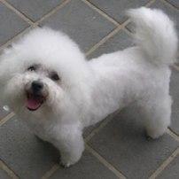 bixhon_frise_06b_puppies_fo
