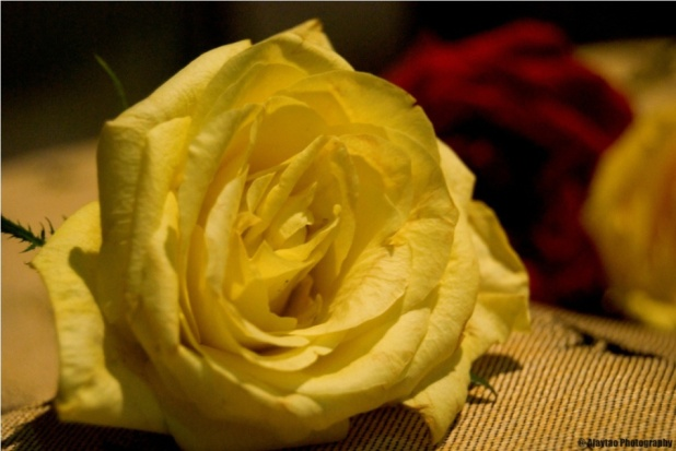 A light yellow rose - Ajaytao