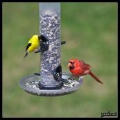 bird_feeder_cardinal_goldfinch