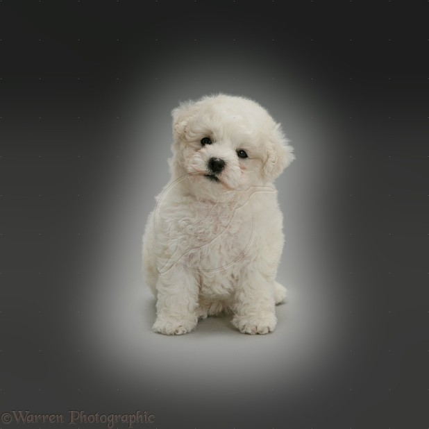 Cute Bichon Frise puppy sitting on grey background