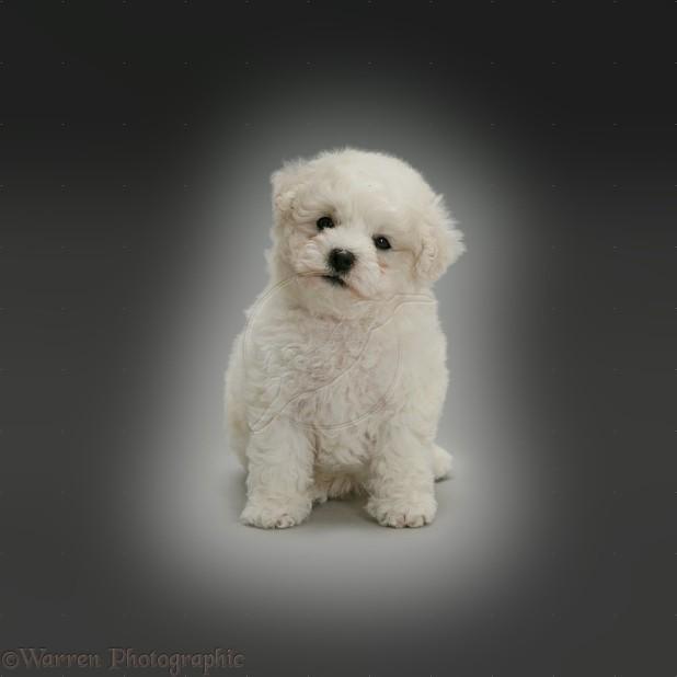 Cute Bichon Frise puppy sitting on grey background