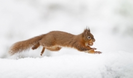 HotSpot_Squirrel_Snow_001