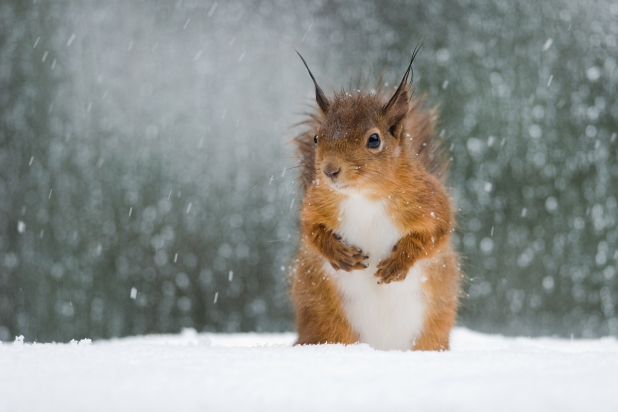 red_squirrel_in_snow