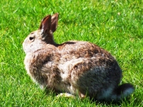 rabbit_on_grass_1_FreeTiiuPix.com