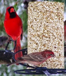 cardinal on safflower seed cylinder