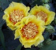 RCasey-CactusFlower
