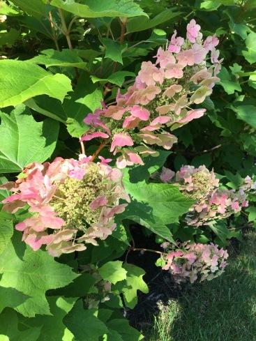 Oak Flowers Pink
