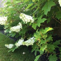 Oak Flowers Two