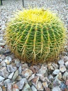 Dad cactus