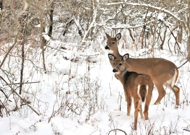 deer and baby winter