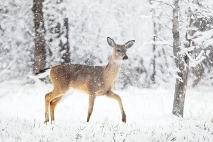 deer in falling snow