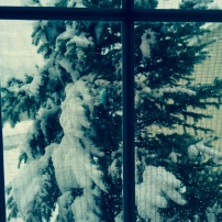 winter blue spruce