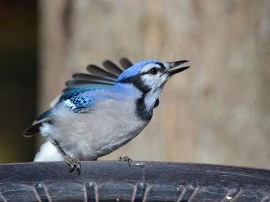 birdbluejay