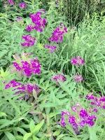 Flower grasses purple bontacial