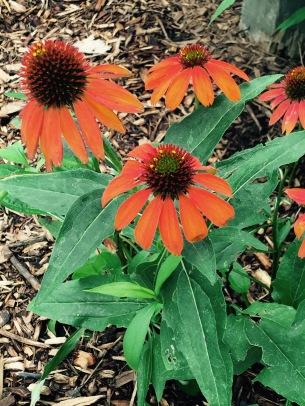 Flower orange daisy botanical