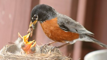 Robin-feeding-young-1024x575