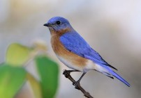 Female Bluebird