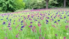 Dutch Iris's