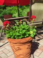 flowers geraniums