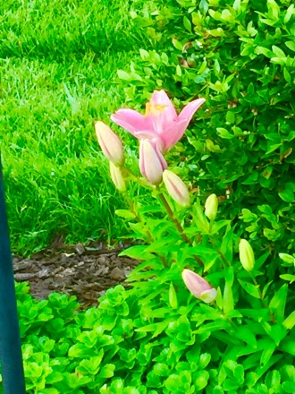 flowers piink lilly bloom buds
