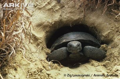 Gopher-tortoise-in-burrow-entrance