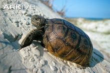 Gopher-tortoise-on-sand-dune