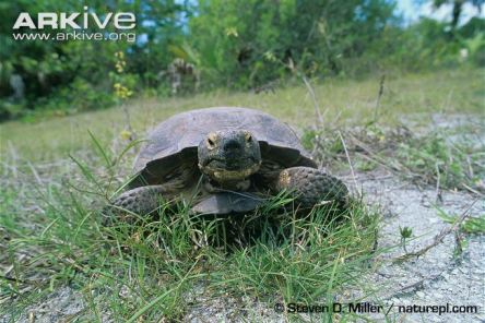 Gopher-tortoise