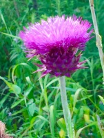 mornfullthistle