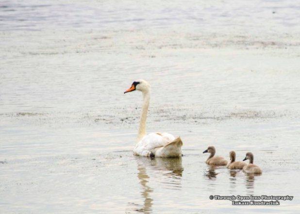 Mute Swan & Babies