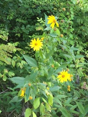 lakeflower