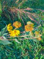 lakeyellowdriedflowers