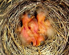 newborn robins